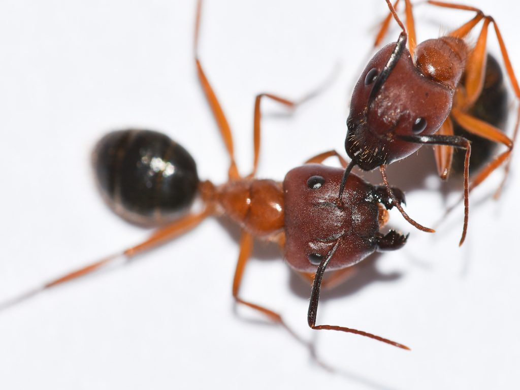 carpenter ants woodburn or